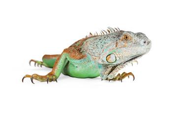 Green Iguana Closeup on White