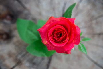 Beautiful red rose on wooden background