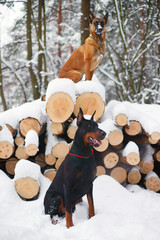Black Doberman dog and Belgian Shepherd dog Malinois sitting outdoors near the cut trees in winter forest