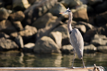 Great Blue Heron Wild Bird Animal Wildlife Dock Marina