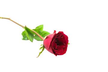 Red rose flower on white