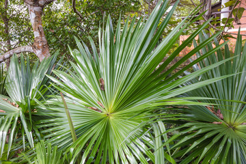 green palm leaves in tropical forest