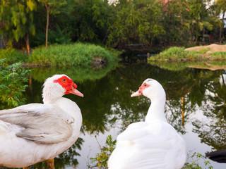 two geese in lake Joho village