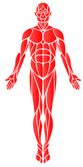 Muscles: A vector diagram of the major muscles found in the body