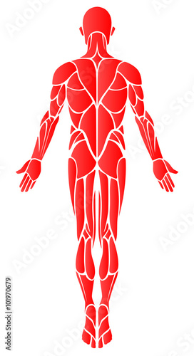 Muscles back a vector diagram of the major muscles found in the muscles back a vector diagram of the major muscles found in the body ccuart Image collections