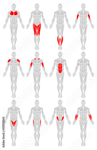 muscle groups: a vector diagram of the major muscles found in the, Muscles