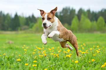 American staffordshire terrier dog playing on the field