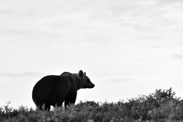brown bear silhouette black and white