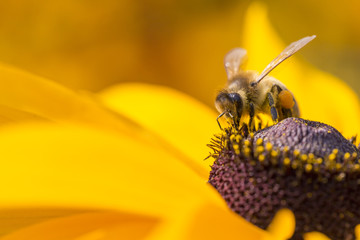 Close-up photo of a Western Honey Bee gathering nectar and sprea
