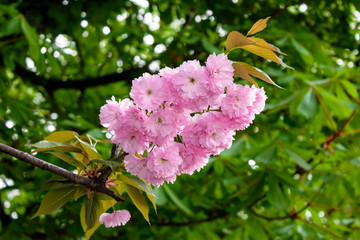 Delicate pink Sakura flowers on a green tree crown