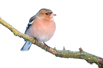 Common chaffinch isolated