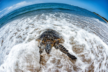 Green Turtle arriving at shore in Hawaii