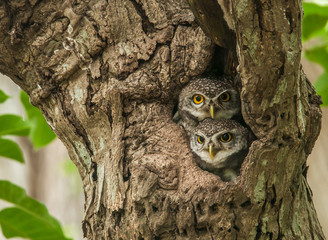 owlet photos royalty free images graphics vectors videos