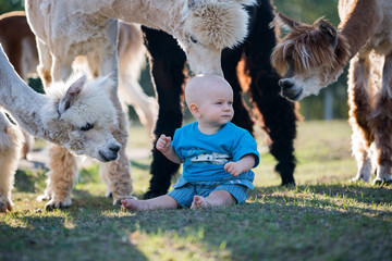 Small boy sitting on pasture with alpacas. Flock of alpacas and small boy.