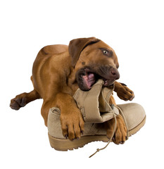 Rhodesian ridgeback puppy chewing on his master's army boots