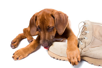Rhodesian ridgeback puppy licks his owner army boots