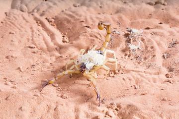 Hadrurus arizonensis, the giant desert hairy scorpion: The baby