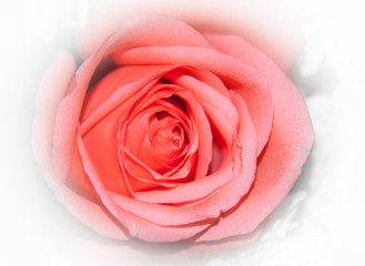 Pink Rose Flower for Valentine, party, anniversary