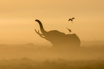 African Elephant in the morning mist at sunrise in Amboseli, Kenya Wall mural