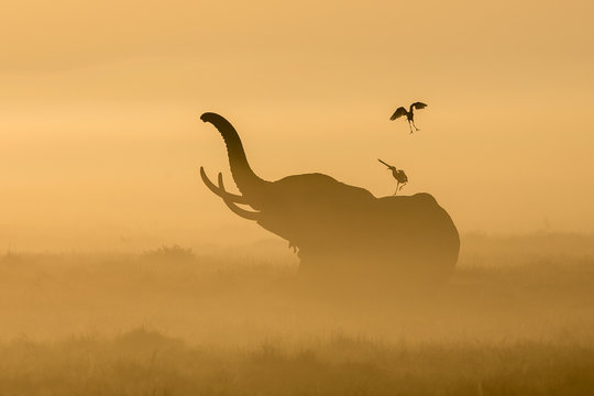 African Elephant in the morning mist at sunrise in Amboseli, Kenya
