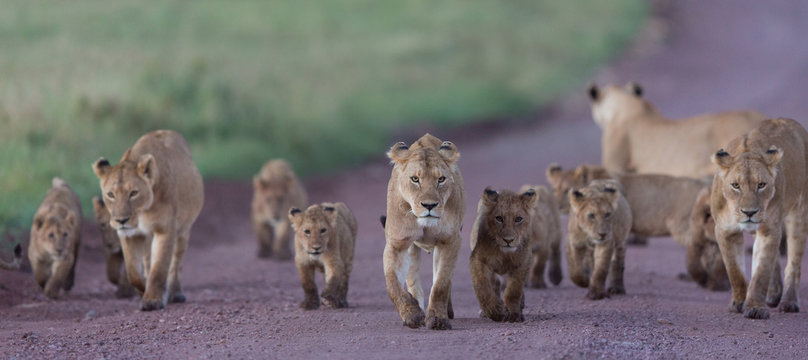 Pride of African Lions in the Ngorongoro Crater in Tanzania