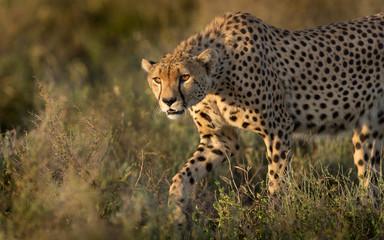 A male Cheetah hunting in the Serengeti, Tanzania