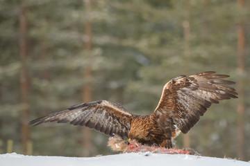 Golden eagle eating a racoon carcass