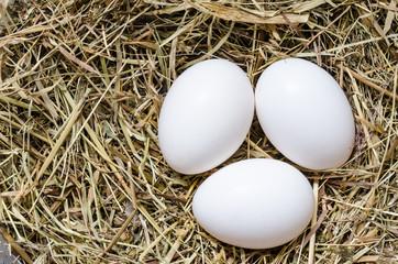 White eggs in the nest