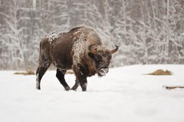 Photo sur Aluminium Buffalo European bison male in winter forest