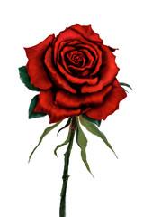 Red rose flower original digital painting