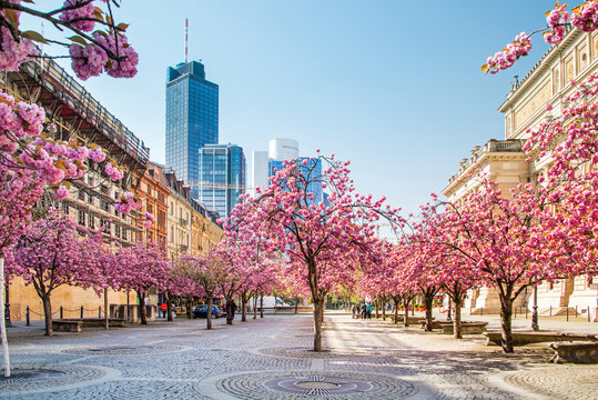 Kirschbaumblüte in Frankfurt, Deutschland
