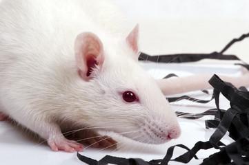 lab rat, closeup