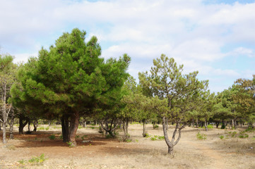 crimean cedar and pines in park