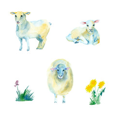 Watercolor painting. Three sheep with green grass on white background
