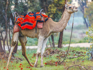 Camel in harness and red blanket on green glade with anemones