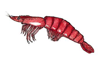 Watercolor Hand drawn sketch graphics shrimp isolated