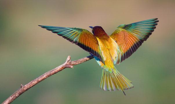 Landing bee-eater