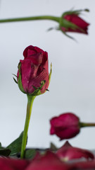 Three direction of rose.