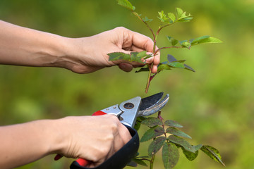 hands pruning garden rose branch with secateurs
