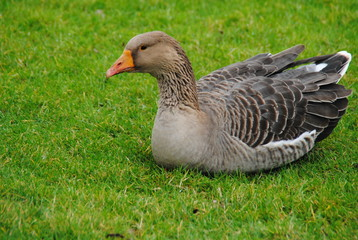 goose taking a rest