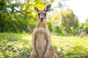 Photo sur Plexiglas Kangaroo Kangaroo at Open Field