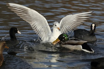 Seagull and ducks - the fight for food.