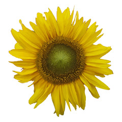 Sunflower. Vector illustration.