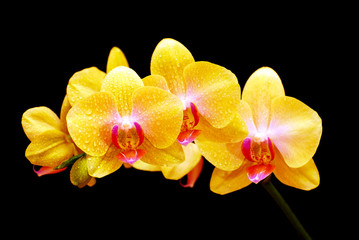 close up of a beautiful yellow orchid (Phalaenopsis) blooming with drops of dew on black background