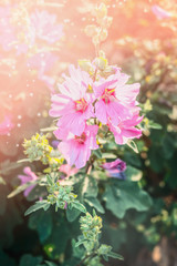 Blooming hollyhock in garden or park. Flowers bed. Pink Mallow flowers .