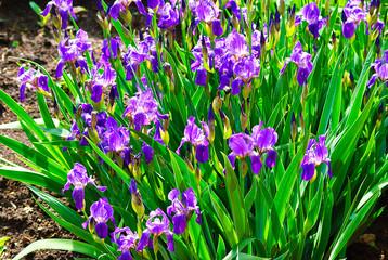 Flowers irises (lat. Íris)