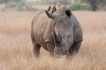 White Rhino standing on the plains with Oxpeckers on it's back