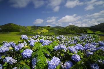 Flores, hydrangea wild field, azores, portugal