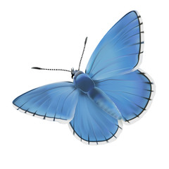 Butterfly Adonis blue. Hand drawn vector illustration of a male Adonis blue butterfly (Polyomatus bellargus) on white background.