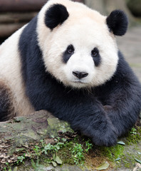 Giant Panda posing for the camera, Chengdu, Szechuan, China